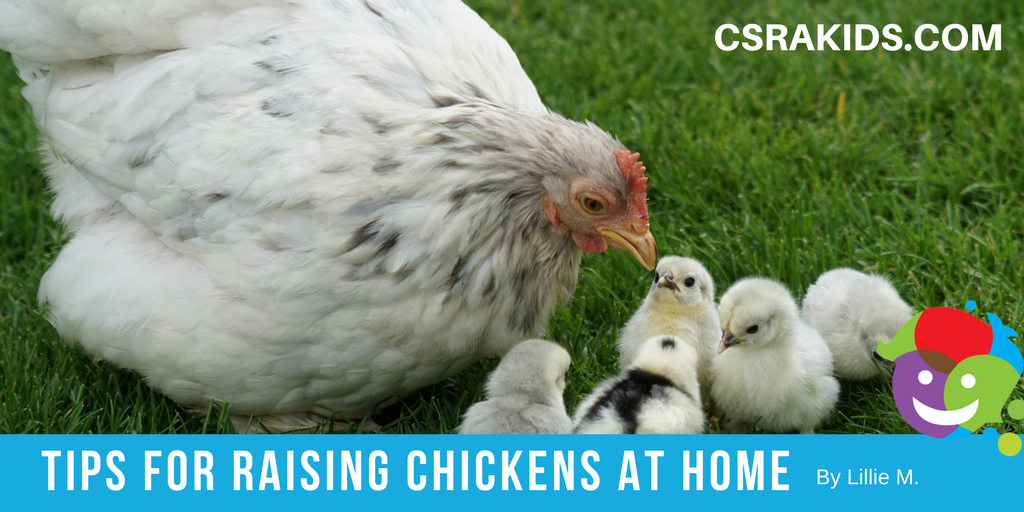 Tips for Raising Chickens at Home